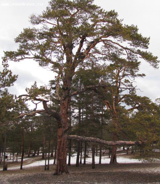 Сосна обыкновенная (Pinus sylvestris L.)