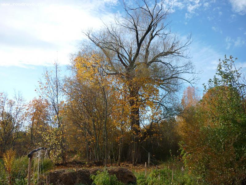 Ива (Salix sp.)