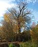 Ива белая (Salix albaL.)