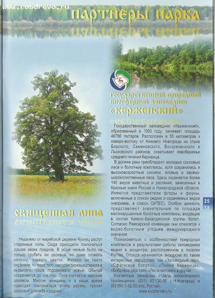 Липа (Tilia sp.)