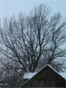Дуб (Quercus sp.)