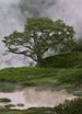 Береза Эрмана  (Betula ermanii Cham.)