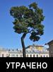 Клен остролистный (Acer  platanoides L.)