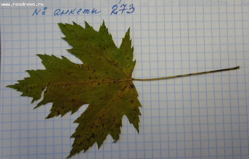 Клен сахаристый (Acer saccharinum L.)
