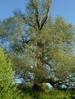 Ива белая или ветла (Salix alba L.)