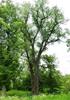 Тополь канадский (Populus х canadensis Moench)