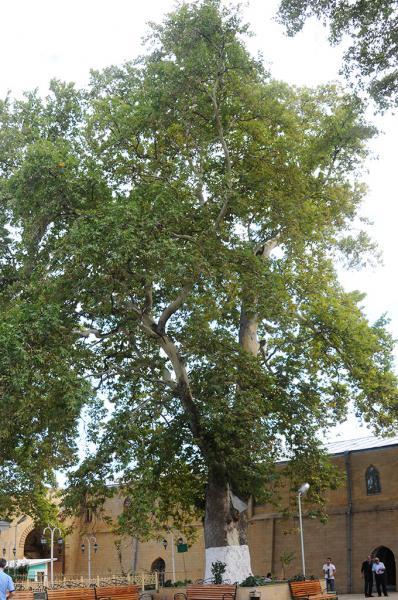 Платан восточный (Platanus orientalis L.)