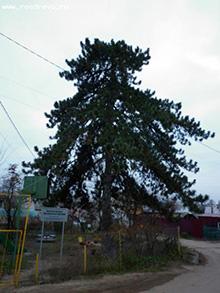 Сосна черная (Pinus nigra Arn.)