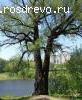 Ива белая (Salix alba L.)
