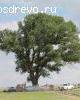 Тополь лавролистный (Populus laurifolia Ledeb.)