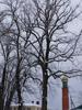 Липа кавказская (Tilia caucasica Rupr.)