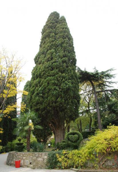 Кипарис вечнозеленый (Cupressus sempervirens L.)