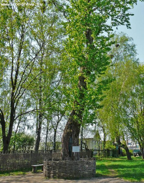 Тополь бальзамический (Populus balsamifera L.)