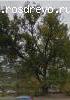 Вяз (Ulmus sp.)