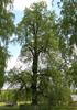Липа сердцевидная (Tilia cordata Mill.)