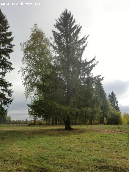 Ель (Picea sp.) и Берёза (Betula sp.)