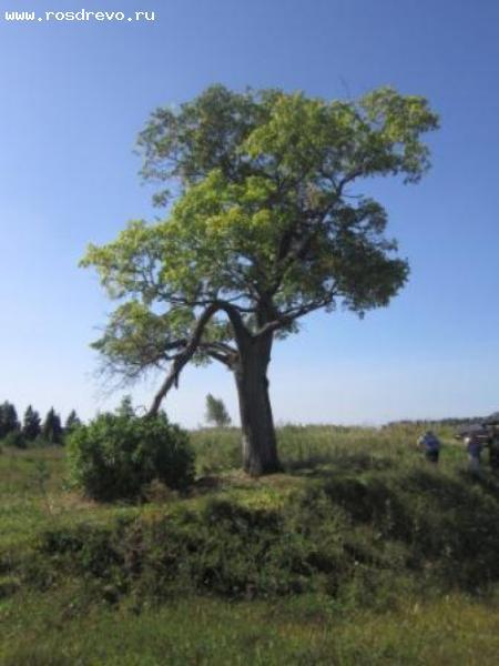Вяз шершавый (Ulmus glabra Huds.)