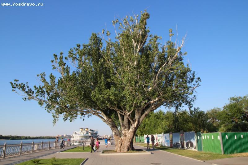 Тополь серебристый (Populus alba)