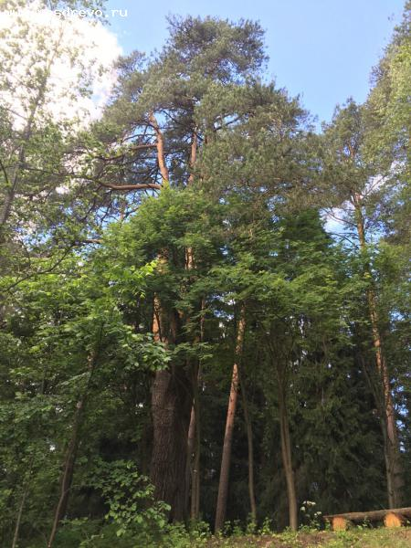 Cосна (Pinus sp.)