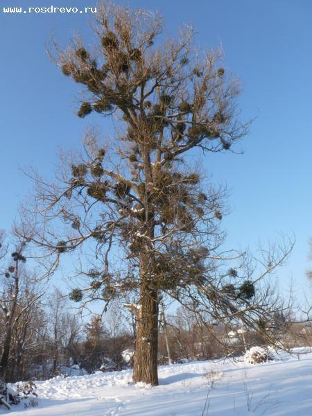 Тополь черный (Populus nigra L.)