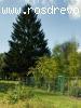 Ель обыкновенная  (Picea abies (L.) H.Karst.)
