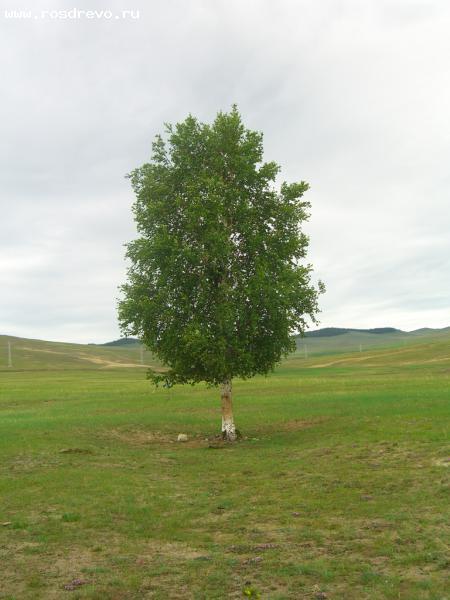 Береза повислая, или бородавчатая (Betula pendula Roth)