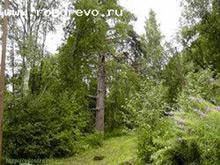 Сосна (Pinus sp.)