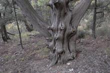 Можжевельник высокий (Juniperus excelsa M.Bieb.)