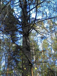Лиственница сибирская(Larix sibirica)