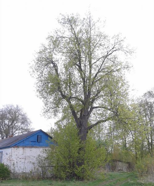 Липа мелколистная, или сердцевидная (Tilia cordata Mill.)