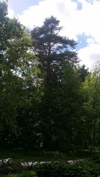 Сосна обыкновенная (Pinus sylvesrtris L.)