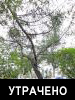 Лиственница даурская (Larix dahurica Turcz. ex Trautv.)