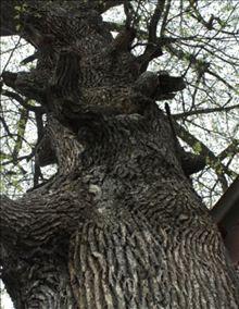 Дуб крупнопыльниковый (Quercus macranthera Fisch.et Mey)