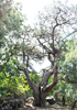 Можжевельник высокий (Juniperus excels Bieb.)