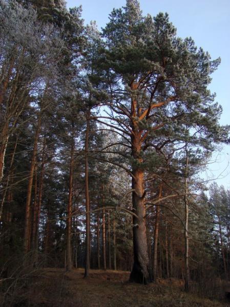 Сосна лесная (Pinus silvestris L.)