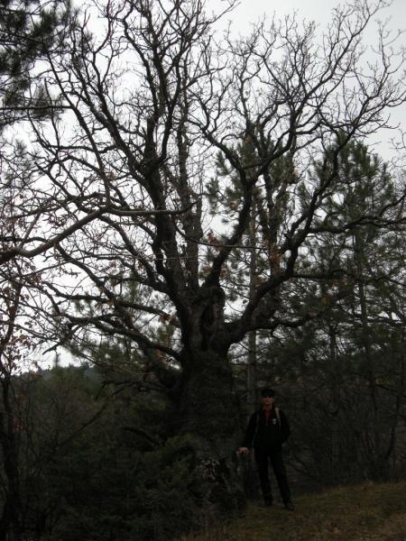 Дуб черешчатый (Quercus robur)