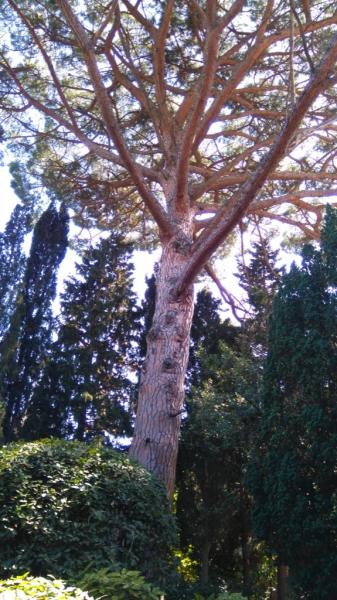 Сосна крымская (Pinus nigra subsp. pallasiana)