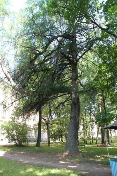 Лиственница (Larix sp.)