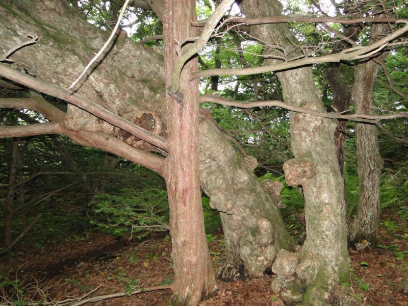 Тис остроконечный (Taxus cuspidata Siebold et Zucc. ex Endl.)