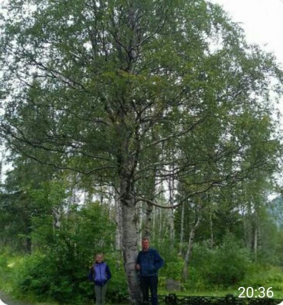 Береза пушистая (Betula pubescens Ehrh.)