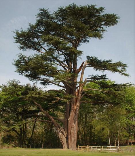 Сосна кедровая сибирская (Pinus sibirica Du Tour)