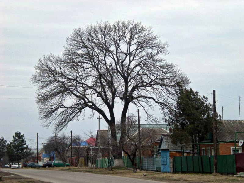Ясень обыкновенный (Fraxinus excelsior)