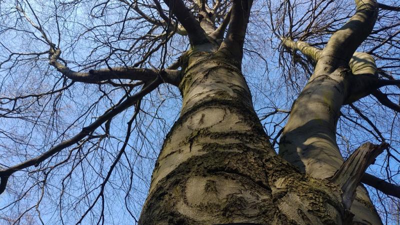 Бук лесной пурпурнолистный (Fagus sylvatica f. purpurea (Aiton) C.K.Schneid.)