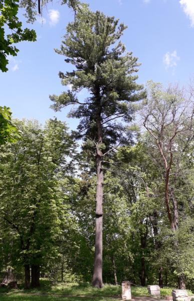 Сосна веймутова (Pinus strobus L.)