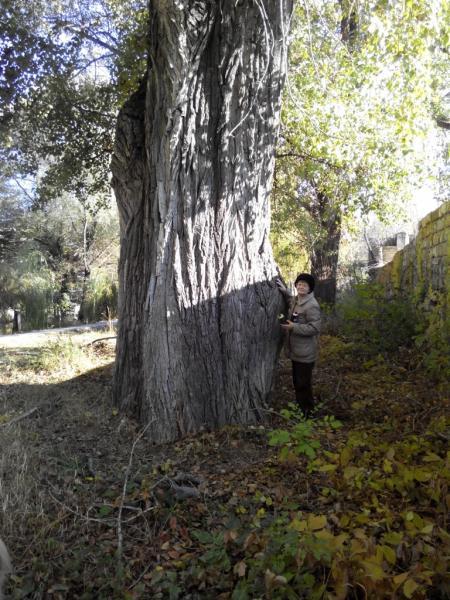 Тополь канадский (Populus x Canadensis)