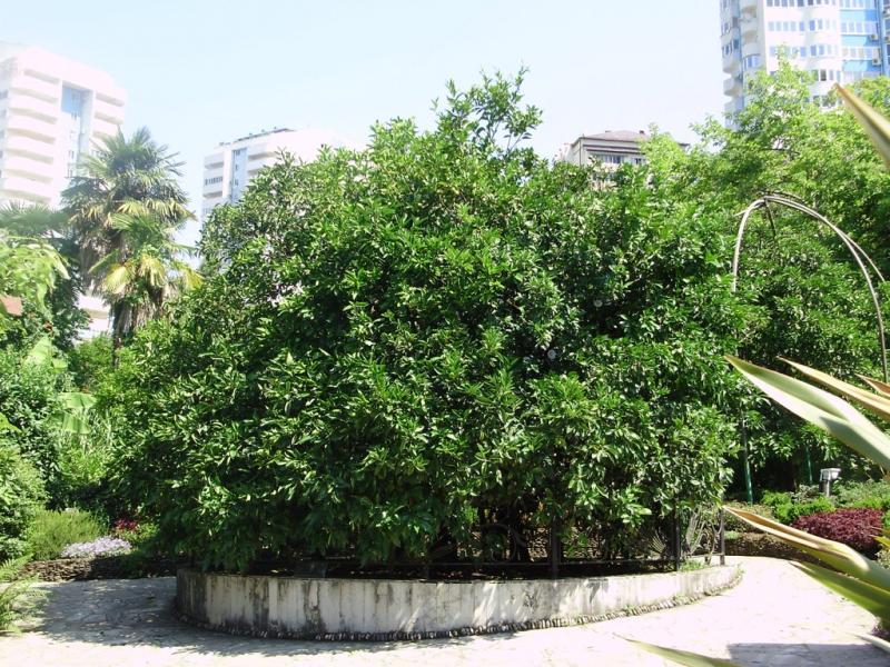 Цитрус (Citrus sp.)
