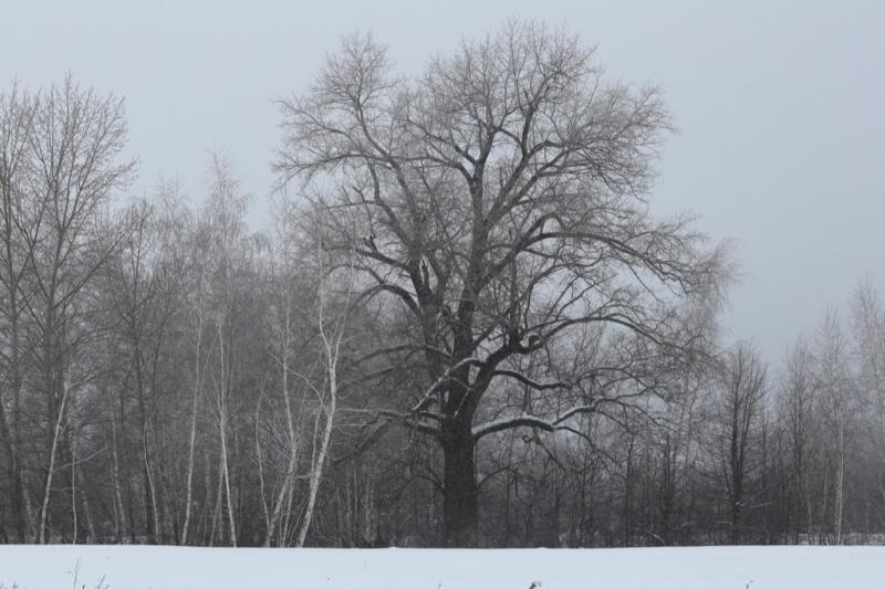 Тополь (Populus sp.)