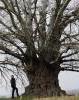 Осина обыкновенная или тополь дрожащий (Populus tremula)