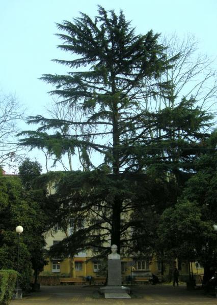 Кедр гималайский (Cedrus deodara)