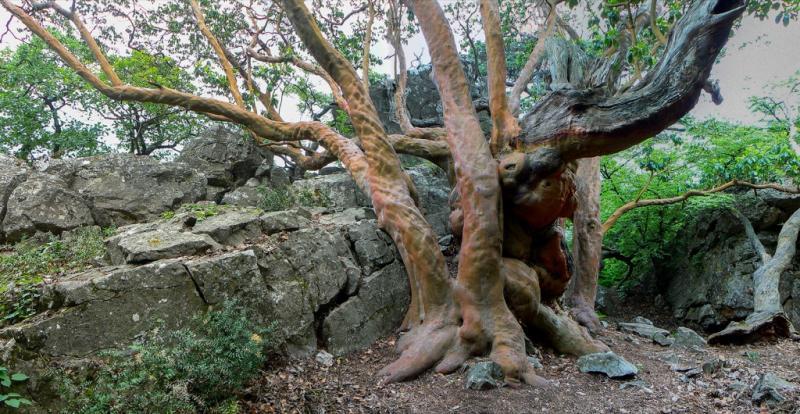 Земляничник мелкоплодный (Arbutus andrachne)